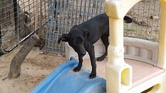 Whippet/Chihuahua Mix Dog for adoption in San Antonio, Texas - CeeCee