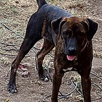 Adopt A Pet :: Becky - Mansfield, TX