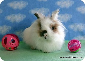 Jersey Wooly Mix for adoption in Scotts Valley, California - Indira