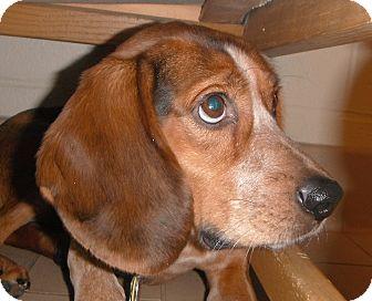 Beagle Mix Dog for adoption in Jackson, Michigan - Granola