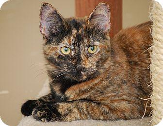 Calico Kitten for adoption in Trevose, Pennsylvania - Taz (tazmaraz)