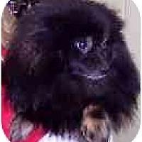 Adopt A Pet :: Potter - Chesapeake, VA