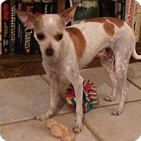 Adopt A Pet :: Clover - Edmond, OK