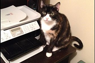 Domestic Shorthair Cat for adoption in Pittstown, New Jersey - Yvette