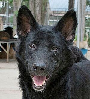 German Shepherd Dog Mix Dog for adoption in Phoenix, Arizona - May