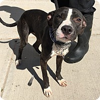 Adopt A Pet :: Shelby - Rockaway, NJ