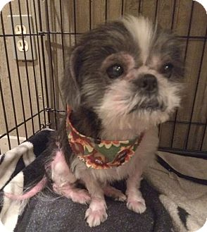 Shih Tzu Dog for adoption in Homer Glen, Illinois - Angel(4)
