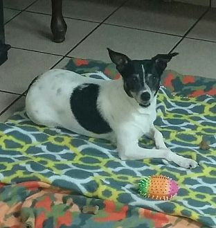 Jack Russell Terrier Dog for adoption in Girard, Georgia - Rosie