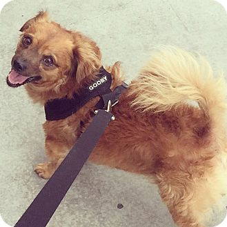 Spaniel (Unknown Type) Mix Dog for adoption in Studio City, California - Dougie