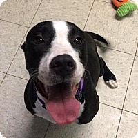 Terrier (Unknown Type, Medium)/Pit Bull Terrier Mix Dog for adoption in Cleveland, Ohio - Oreo