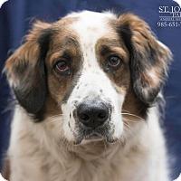 Adopt A Pet :: Hudson - Laplace, LA