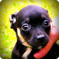 Adopt A Pet :: Tumbleweed - Glastonbury, CT