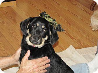 German Shepherd Dog Mix Puppy for adoption in Oakland, Arkansas - Farrah