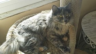 Calico Cat for adoption in San Fernando Valley, California - Kayta