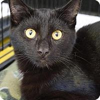 Adopt A Pet :: Midnight - Wauconda, IL