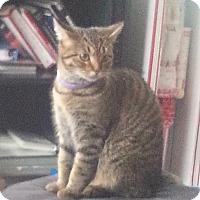 Domestic Shorthair Cat for adoption in Warren, Michigan - Ireland