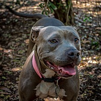 American Pit Bull Terrier Mix Dog for adoption in Jacumba, California - Sweetie