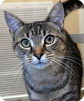 Domestic Shorthair Cat for adoption in Newland, North Carolina - Tonks
