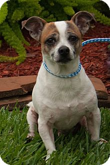 Jack Russell Terrier Mix Dog for adoption in Vancouver, British Columbia - Pistachio