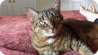 Domestic Shorthair Cat for adoption in Gainesville, Virginia - Ruby