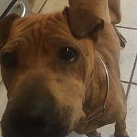 Adopt A Pet :: Sunshine - Gainesville, FL