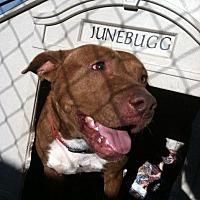 Pit Bull Terrier Dog for adoption in Jefferson, Texas - Smokey Joe
