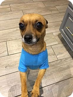 Chihuahua Mix Dog for adoption in St. Catharines, Ontario - Pee Wee