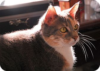 Domestic Shorthair Cat for adoption in Winchendon, Massachusetts - Dezzie