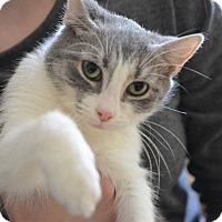 Adopt A Pet :: Faira - Danbury, CT