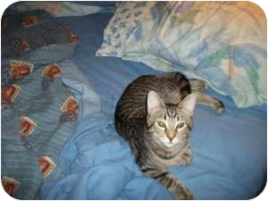 Domestic Shorthair Cat for adoption in Henderson, Kentucky - Jordan