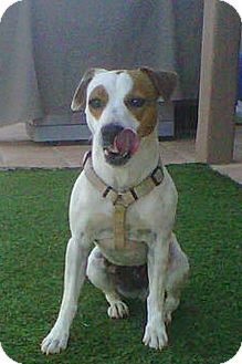 Jack Russell Terrier Dog for adoption in Scottsdale, Arizona - ZOEY
