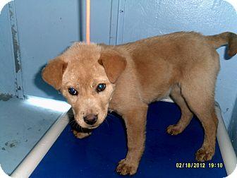 Labrador Retriever/Golden Retriever Mix Puppy for adoption in Dundas, Virginia - Tabitha