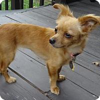 Adopt A Pet :: Samantha - Shawnee Mission, KS