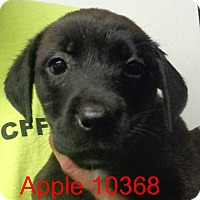 Adopt A Pet :: Apple - baltimore, MD