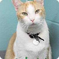 Domestic Shorthair Cat for adoption in Bradenton, Florida - Gabriel