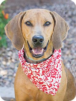 Redbone Coonhound Dog for adoption in Scottsdale, Arizona - Maybelline