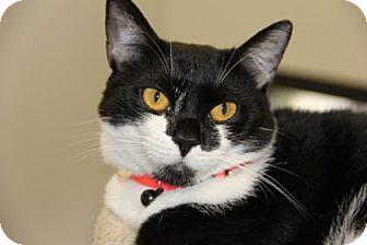 Domestic Shorthair Cat for adoption in Greensboro, North Carolina - Oprah