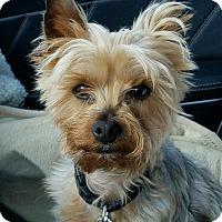 Adopt A Pet :: Gucci - Suwanee, GA