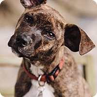 Adopt A Pet :: Billy - Portland, OR