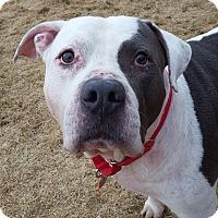 Adopt A Pet :: Smoked Beef - Grayslake, IL