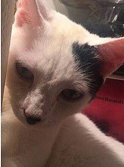 Domestic Shorthair Kitten for adoption in Cameron, North Carolina - Domino