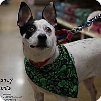 Jack Russell Terrier/Rat Terrier Mix Dog for adoption in Kennesaw, Georgia - Penelope