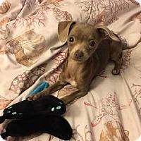 Adopt A Pet :: FARAH - Pt. Richmond, CA