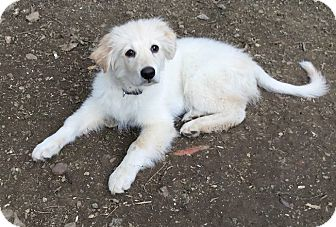 Great Pyrenees/Golden Retriever Mix Puppy for adoption in Pittsburgh, Pennsylvania - Nicholas