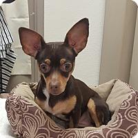 Adopt A Pet :: Rosie - Hawk Point, MO