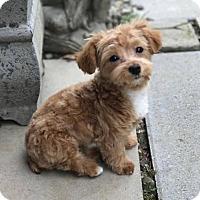 Adopt A Pet :: LuLu - Buffalo, NY