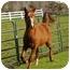Photo 1 - Appendix/Quarterhorse Mix for adoption in El Dorado Hills, California - Rinaldo