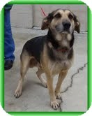 German Shepherd Dog/Labrador Retriever Mix Dog for adoption in Hagerstown, Maryland - Andes (URGENT! $150 off fee))