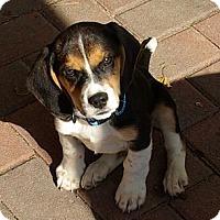 Adopt A Pet :: Zorro - Portland, OR