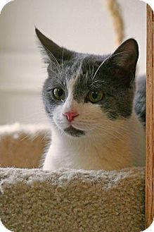 Domestic Shorthair Cat for adoption in Victor, New York - Toby